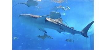 Diamond Painting Set H541 Whale Shark 50 x 40 cm