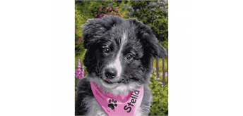 Schipper - Malen nach Zahlen - Border Collie Puppy